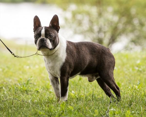 Renea's Razz Ma Tazz  Veteran klasse Hanhund og vinner av Certet