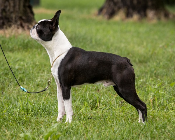 Black Indian's Qonan  Juniorklasse hannhund